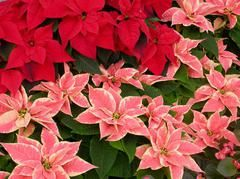 Poinsettia Care Tips from Missouri Botanical Gardens